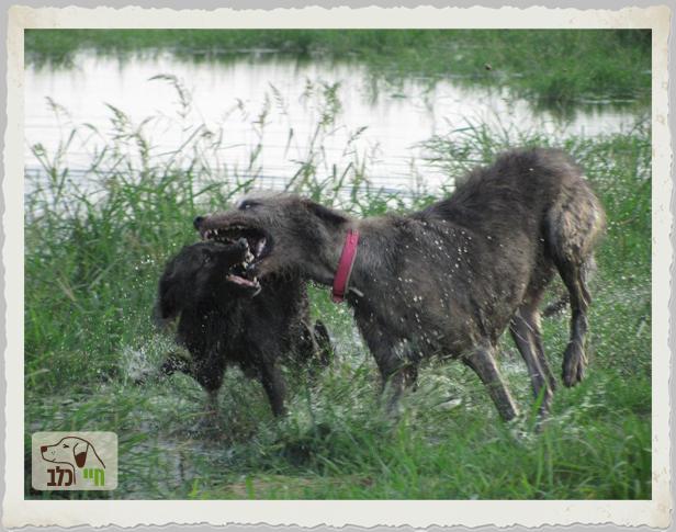 כלב אגרסיבי