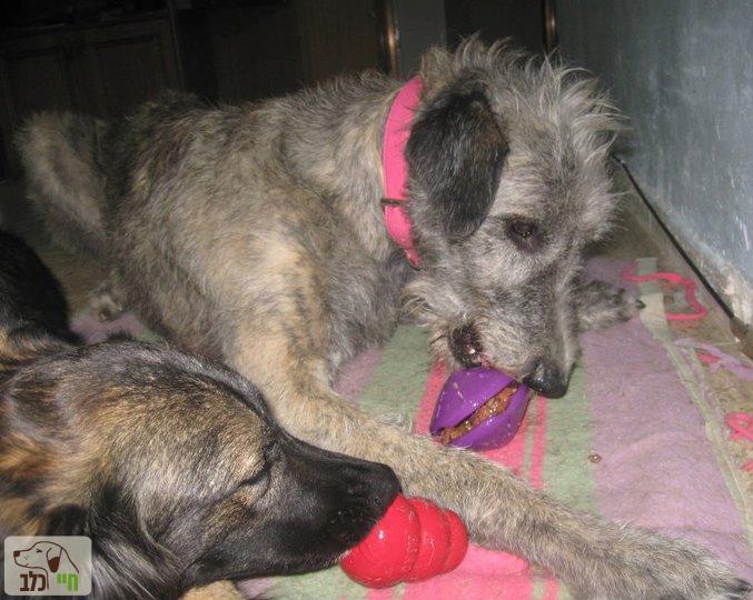 כלבים עם צעצועי האכלה - קונג וצלחת סגולה.