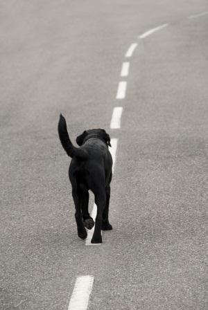 כלב על הכביש