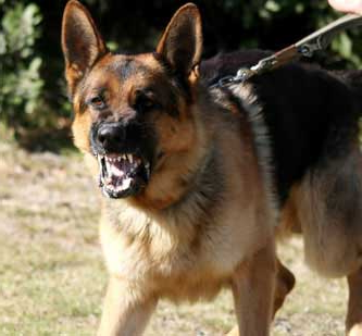 רועה גרמני חושף שיניים